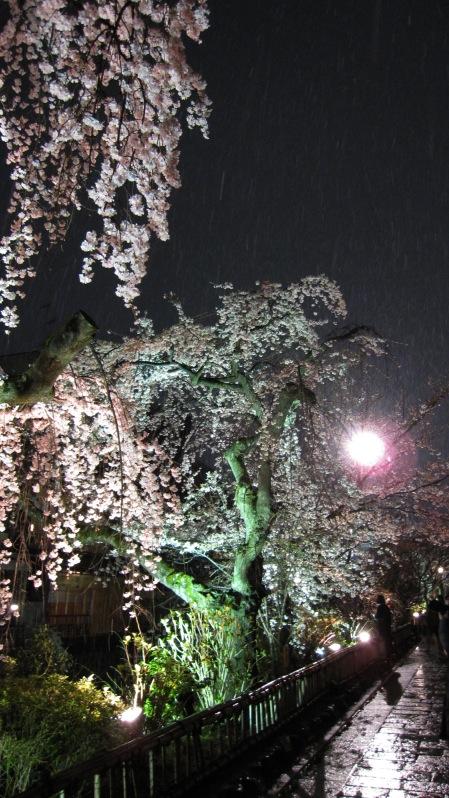 雪中寒桜 たて 11.jpg