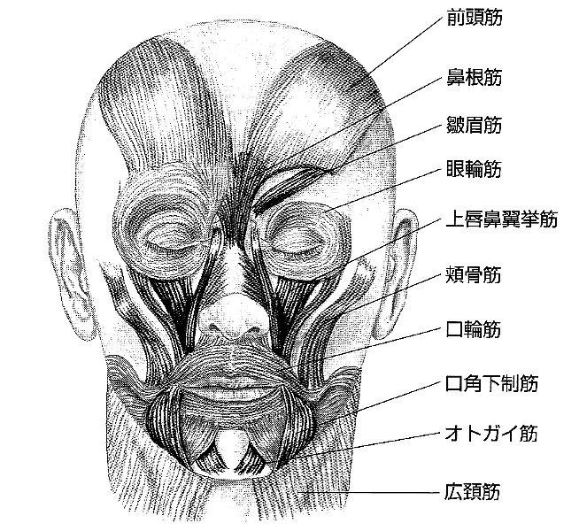 顔筋肉.jpg